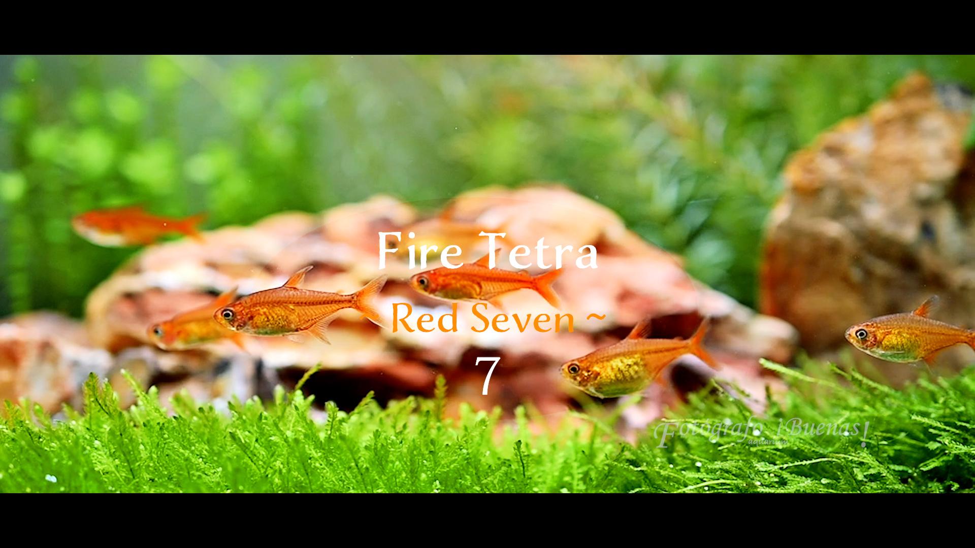 【Aquarium】Fire Tetra (レッドテトラ)